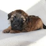Pup paars 4 weken oud